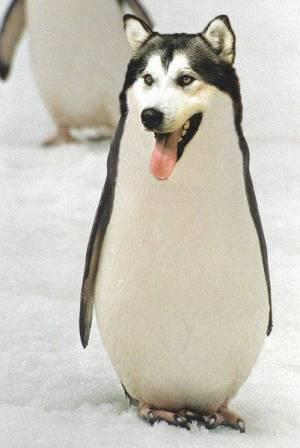 penguin husky